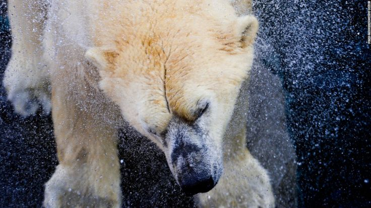 A polar beat shakes the water off his coat at a zoo in Hannover, Germany, on Thursday, December 3.