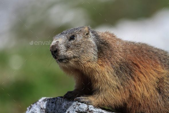 Alpine marmot - Marmota marmota by porojnicu. Alpine marmot �20Marmota marmota in Italian Dolomites