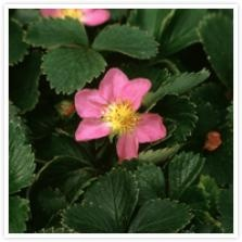 Fragaria 'Pink Panda' is an excellent potager rampaging ground cover with glossy leaves pink flowers and edible fruits. It flowers in flushes over many months. Similar are the var. 'Ruby Glow' (large red flowers), 'Lipstick' (crimson flowered) and F1 'Pink Marathon' (also crimson flowered)