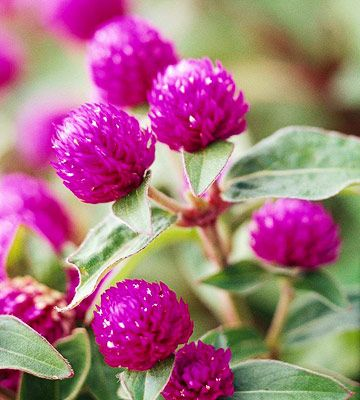 GLOBE AMARANTH - An all time favorite and easy to grow.  Sun loving annual in zones 2-11; height 1-3 ft; containers, beds & borders; plant with zinnia, strawflower & lisianthus; good for cut flowers, dried flowers, attracts butterflies, easy to grow.