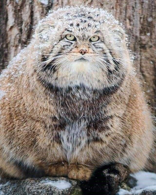 Pin On Pallas Cat