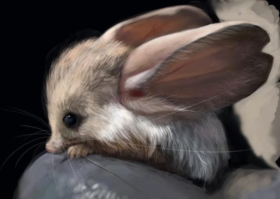 The long-eared jerboa is a nocturnal, jumping rodent that feeds mainly on insects, and lives in the Gobi desert of southern Mongolia and northern China.