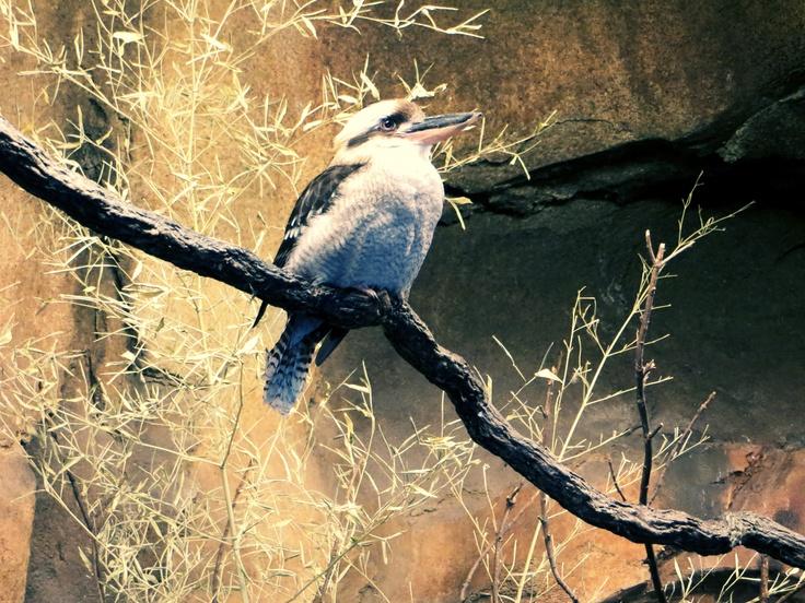 kookaburra, Omaha Zoo