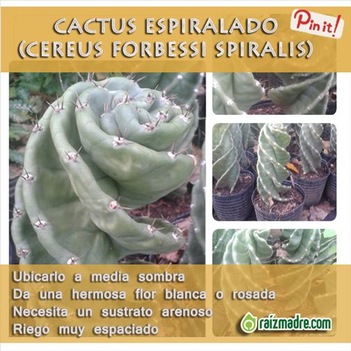 cactus espiralado no puede faltar en tu colecci n este