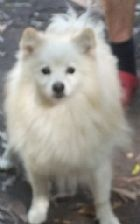 German Spitz (Mittel and Klein) Dogs for Sale from Registered Breeders at Dogz Online