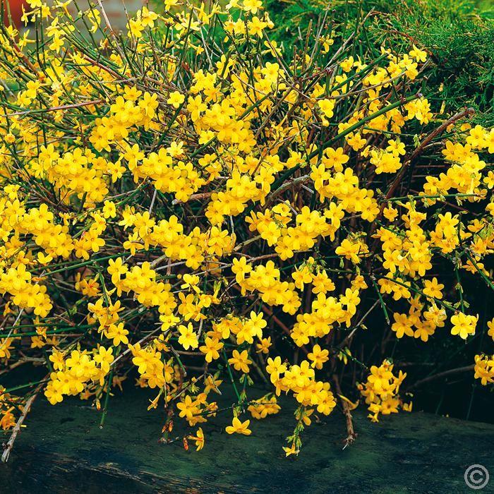 WINTER FLOWERING Jasminum nudiflorum Winter Jasmine - 1 shrub Buy online order yours now