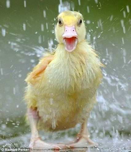 Cute Duckling having a Shower