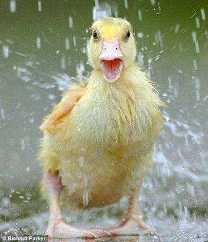 Cute Duckling having a Shower