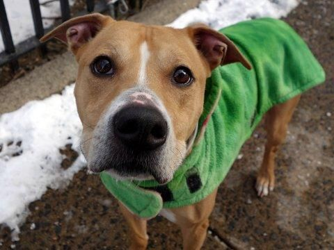 Dies 1-18 Manhattan Center PIEROGI – A1101245 NEUTERED MALE, TAN / WHITE, AM PIT BULL TER MIX, 7 yrs OWNER SUR – AVAILABLE, HOLD RELEASED Reason NYCHA BAN Intake condition EXAM REQ Intake Date 01/09/2017, From NY 10029, DueOut Date 01/09/2017,
