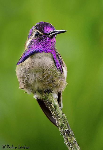 Costa's Hummingbird, Wings of the Tropics. Fairchild Tropical Botanic Garden. | Flickr - Photo Sharing! <3 https://www.pinterest.com/keymail22