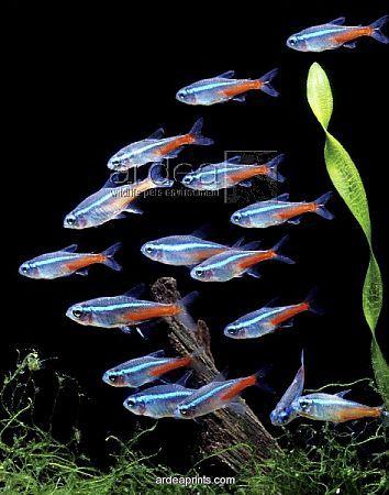neon tetra aquarium fish  www.waterwayscruises.com