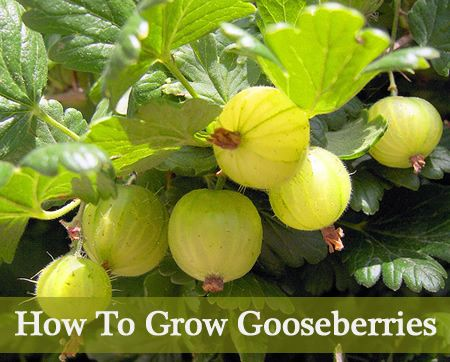 How To Grow Gooseberries - Gooseberries can grow pretty much anywhere, they are not picky about the soil type too.