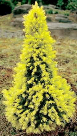 PICEA GLAUCA SPRUCE TREE .. 'J.W. DAISY WHITE' - for winter interest! Bought one of these today, Beautiful, April,14