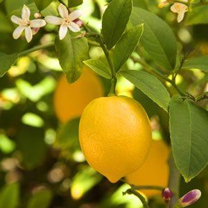 TREE CITRUS - DWARF MEYER LEMON - Garden Express