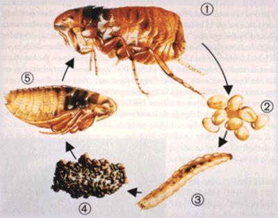 Um remédio caseiro para eliminar as pulgas, tanto nos animais quanto no ambiente. Ingredientes – 02 Copos médios de álcool comum; – 01 Copo de água filtrada – de preferência um co…
