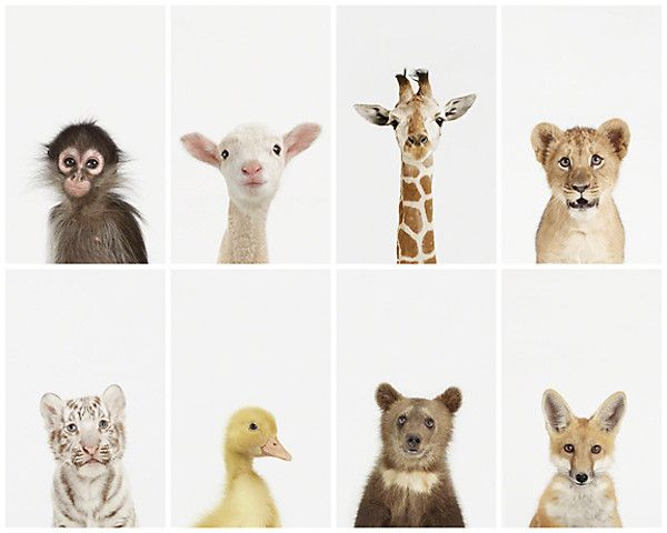 Prints of darling baby animals from The Animal Print Shop. http://www.theanimalprintshop.com/