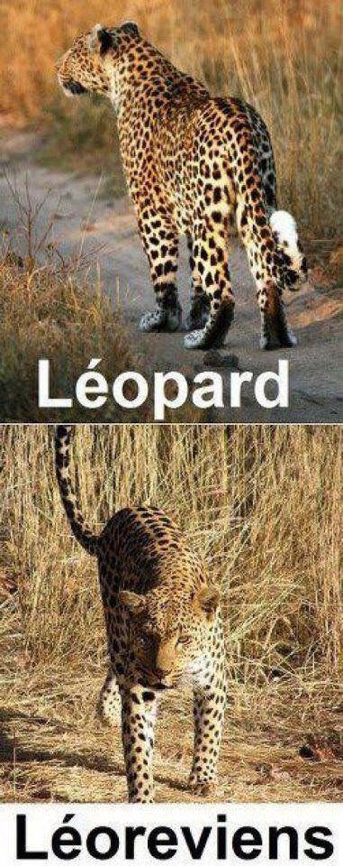 Léopard / Léo revient
