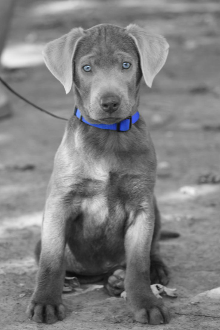 This is my Silver Labador puppy at 4 months old.