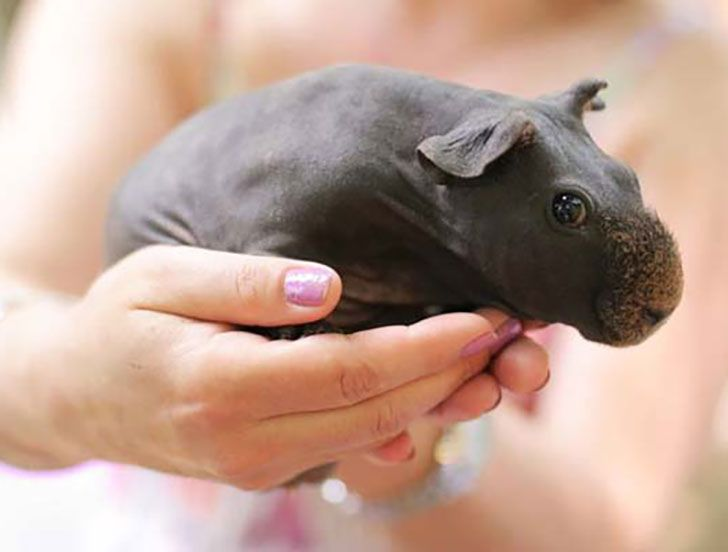 17 Best Ideas About Shaved Guinea Pigs On Pinterest