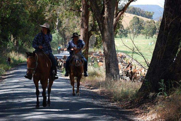 Cattle droving with the Forges