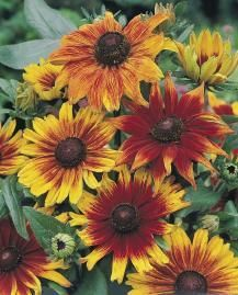Rudbeckia 'Autumn Colors' Gloriosa Daisy  Large brown-eyed daisy flowers all season in a range of bicolor shades from yellow through gold, orange and bronzy-red. An outstanding cut flower.