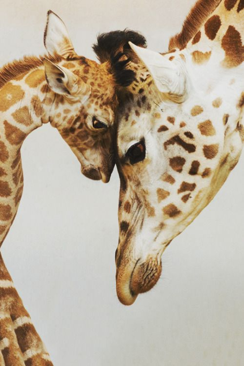 I have a feeling that they are both trapped at the zoo and baby giraffe  is asking her mommy WHY we are here in this small, not real place , instead  roaming free in vast Africa where we belong  ? and her mommy is so sad , missing her freedom soooooooo much too.  My dream  and deep desire of my heart  and soul  is the world where people respect animals in every way and all the zoos, circuses , any enslavement of these sentient beings is memory of the dark past of the human kind.  Let it be…