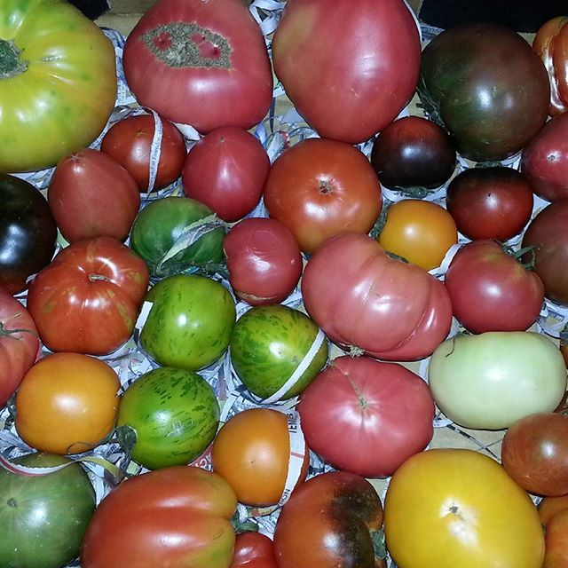 Some amazing Large Heirloom  Tomatoes straight  from the  market