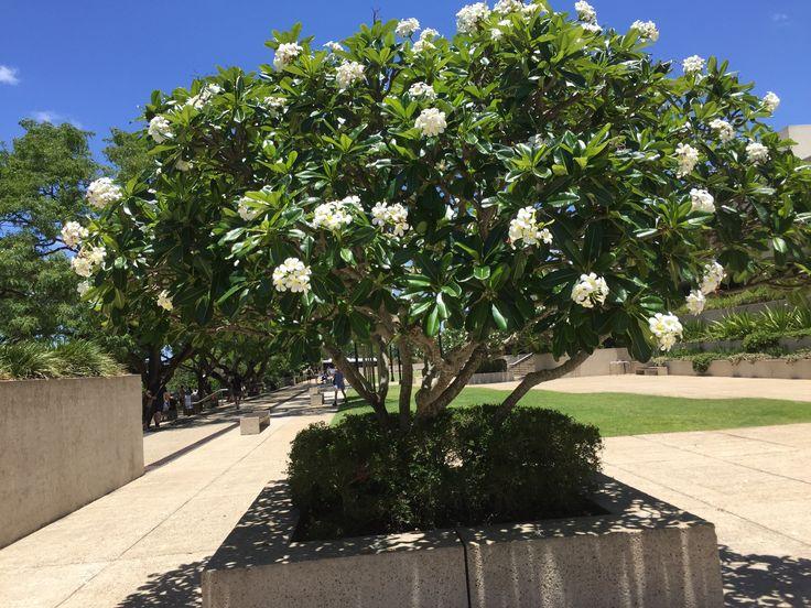 frangipani tree in cultural centre forecourt  south brisbane  qld