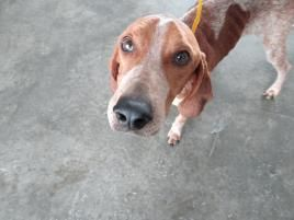 Hound - Last Chance RESCUE ANIMAL PLACEMENTSemailRescuePuppy@gmail.com P.O. Box 1174  Chadds Ford/ Doylestown Chadds Ford, PA 19317 RescuePuppy@gmail.com