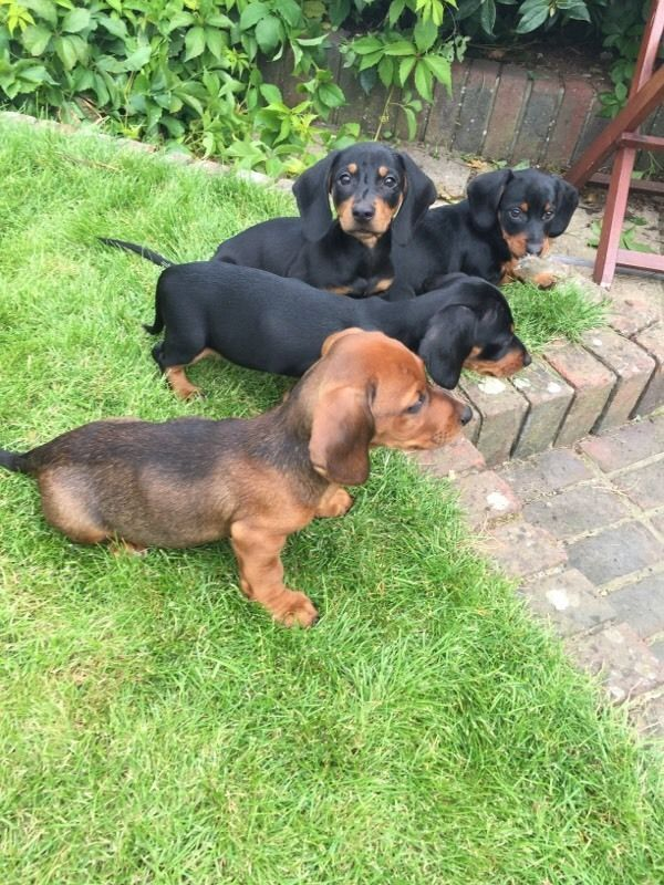 Dachshund Gumtree Kingdom Puppies United Dachshund Puppies United Kingdom Gumtree Dachshund Puppies Dachshund Puppies