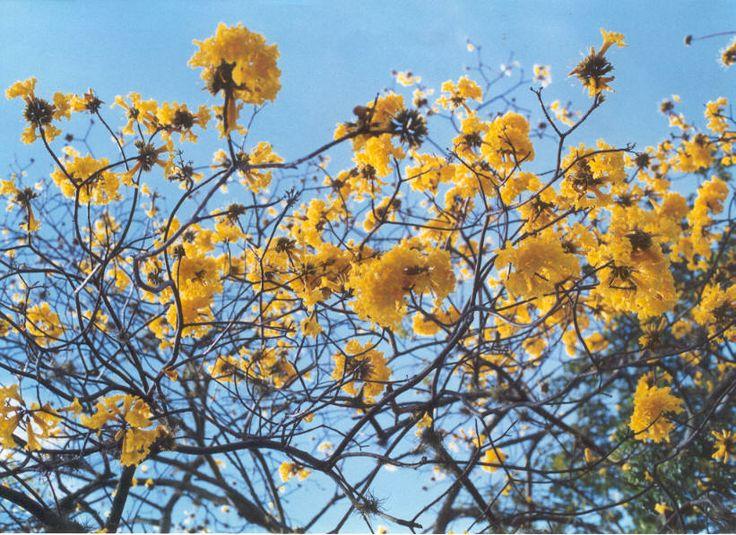 Guayacán, sus flores acompañando nuestras largas tardes de estudio en el municipio de Jardín, disfrutando de un buen cafe.