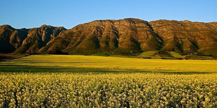 """Photo """"Canola-Porterville,SouthAfrica"""" by Simonstravels"""