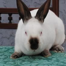 Adopted! Cali gets her name from the big, beautiful Californian breed. If you would like a bunny who's gentle, quiet and sweet, this is your girl. She is a good-tempered bunny who adores greens. At one point her back leg was broken, so she has a bit of a hobble, but she is healed and healthy. She's absolutely gorgeous and can't wait to find her forever home. ** Ohio House Rabbit Rescue, Inc. www.ohiohouserabbitrescue.org (614) 263-8557 5485 N. High Street Columbus, OH 43214