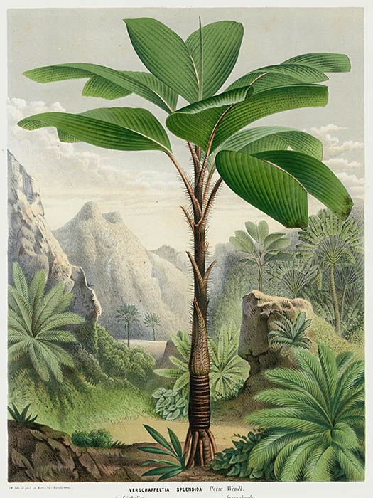 1845 I Louis Van Houtte I Flores de Serres Cactus