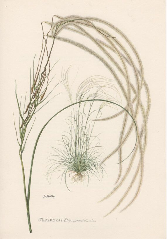 1954 Feather Grass Botanical Print Vintage by Craftissimo on Etsy