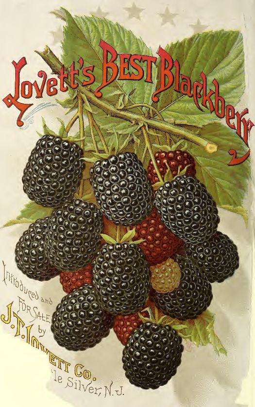 Beautiful blackberries!