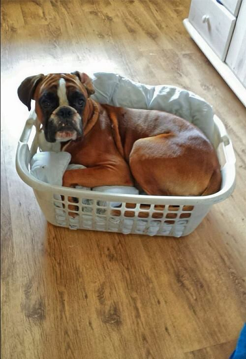 Oh how Boxers love clean warm laundry!!