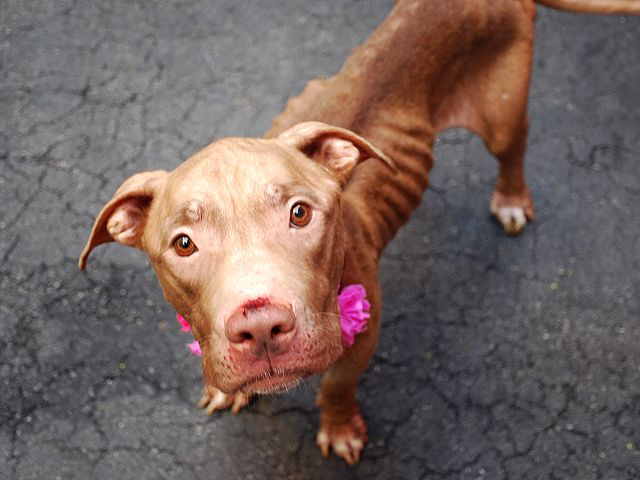 SASSY – A1044833 FEMALE, TAN, PIT BULL MIX, 3 yrs STRAY – STRAY WAIT, NO HOLD Reason STRAY Intake condition INJ MINOR Intake Date 07/21/2015, From NY 10466, DueOut Date 07/24/2015,