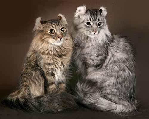 Фото кошек американского керла