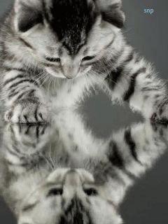 Дымчатый  серый котенок смотрится в отражение.