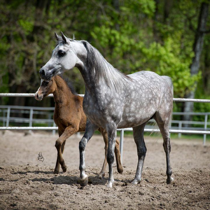 ENTIMA | PRIDE of POLAND | Arabian horse | Andalusian ...