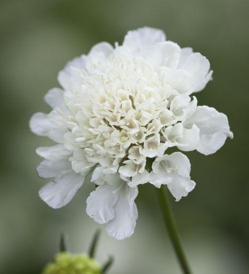 Scabiosa White (also Black)