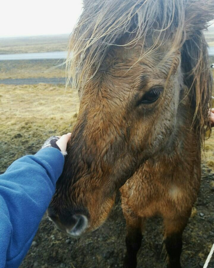 One of the best parts of Iceland was the Icelandic horses