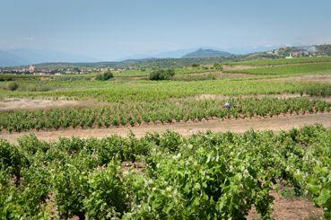 Le bon déroulement de la floraison est important car elle influence la récolte. Le climat en Languedoc-Roussillon est un atout considérable pour une floraison de qualité