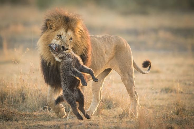 National Geographic Nature Photographer Of The Year 2017 See The Winning Photos From The 2017 National Geographic Nature Photographer Of Geographic National Fotos De Leao Animais Selvagens Animais Majestosos