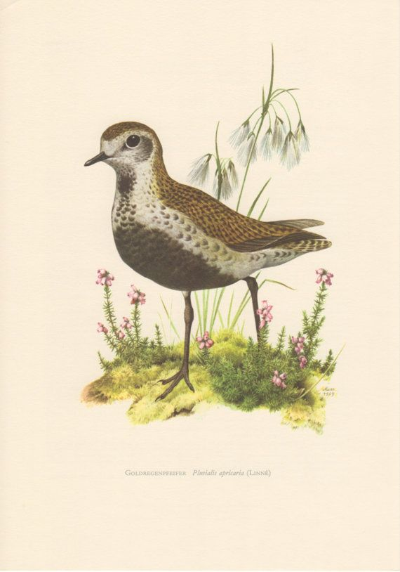 1959 Golden Plover Antique Print Vintage Lithograph by Craftissimo, €12.95