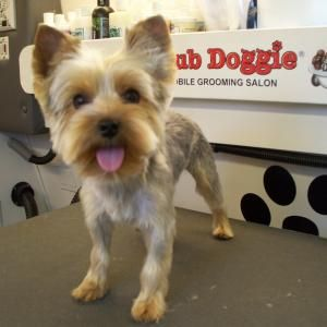 yorkie puppy 39 s first haircut dynamic dogs pinterest. Black Bedroom Furniture Sets. Home Design Ideas