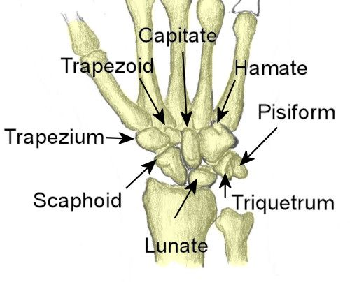 Image result for Bones of hand