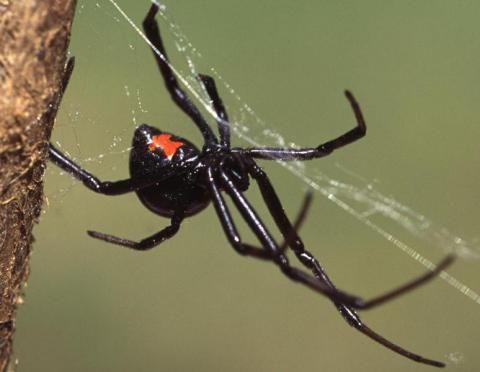 Cómo identificar una araña venenosa - Batanga