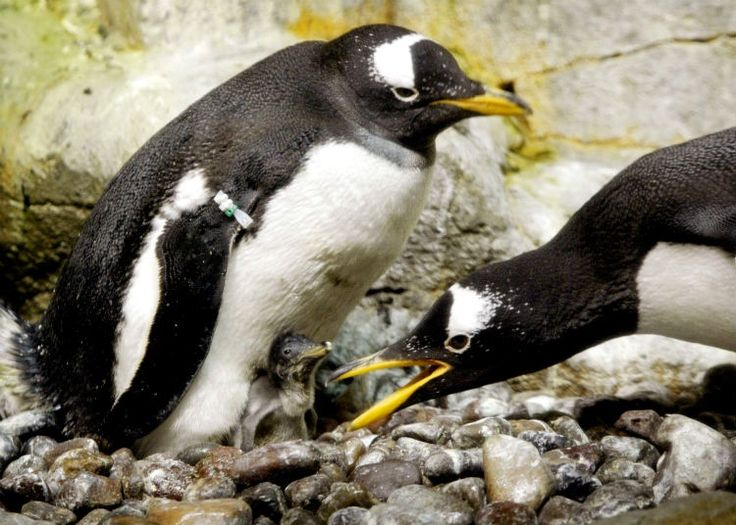 21 interesting facts about penguins that may just put a smile on your face. Both the adult male and female play big roles in hatching and rearing their young ones — like this couple of Gentoo penguins at the Shedd Aquarium in Chicago.